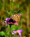 Painted Lady butterfly feeding on Zinnia flowers. Image taken with a Fuji X-T3 camera and 200 mm f/2 lens