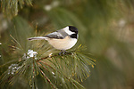 Black-capped chickadee perhced on a pine branch.