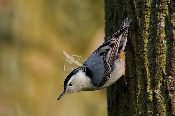 White-breasted Nuthatch (Sitta carolinensis). Climbs down, up and around tree trunks searching for insects. Spring. Great Lakes Region. Ontario, Canada.