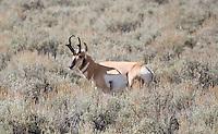 Pronghorn Antelope (Antilocapra americana), Carrizo Plain, California