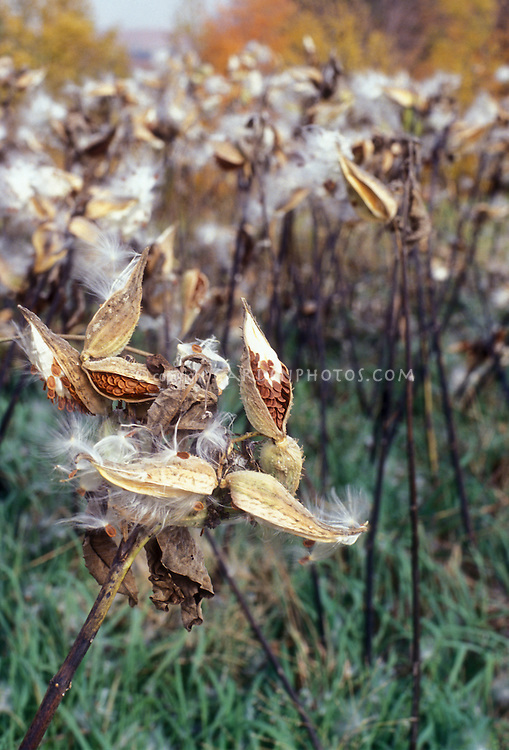 Butterfly weed milkweed Aslepias syriaca in seed heads with white fluffy hairs, seeds, pods