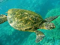 Green Sea Turtles, Hawaiian; Chelonia mydas