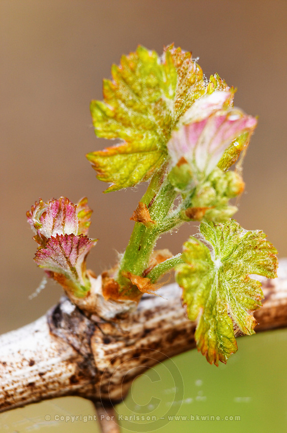 new leaves and counter-bud contre-bourgeon ch gd barrail lamarzelle figeac saint emilion bordeaux france