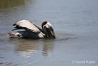 0828-0901  Brown Pelican Swimming in Marsh Drinking and Hunting for Fish, Pelecanus occidentalis © David Kuhn/Dwight Kuhn Photography