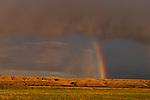 Colorado White River rainbow