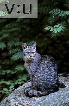 Wild Cat ,Felis silvestris,, Europe.