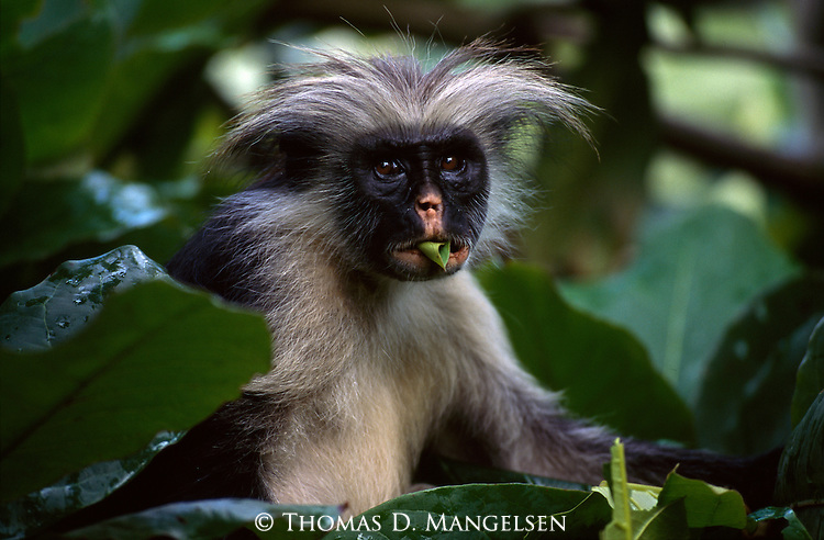 A red colobus monkey feeds on leaves in Zanzibar, Tanzania.