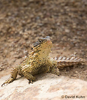 0521-1004  Sungazer Sunning Itself Outside Burrow (Giant Girdled Lizard or Giant Zonure), Cordylus giganteus  © David Kuhn/Dwight Kuhn Photography
