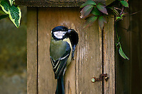 Great Tit holding an insect in its beak rests on a bird box, England