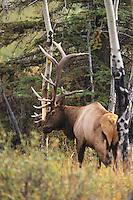 Elk, Wapiti (Cervus elaphus), bull slashing tree, Jasper National Park, Alberta, Canada