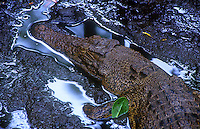 Palauan saltwater crocodiles (Crocodylus porosus), known locally in Palau as ius.