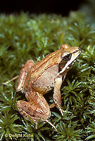 FR19-001z Wood Frog - adult -  Lithobates sylvaticus, formerly Rana sylvatica