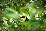 Toucan, Tirimbina Nature Reserve, La Virgen, Sarapiqui, Costa Rica
