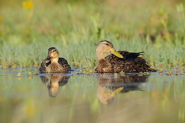 Mottled Duck (Anas fulvigula), pair, Fennessey Ranch, Refugio, Corpus Christi, Coastal Bend, Texas Coast, USA