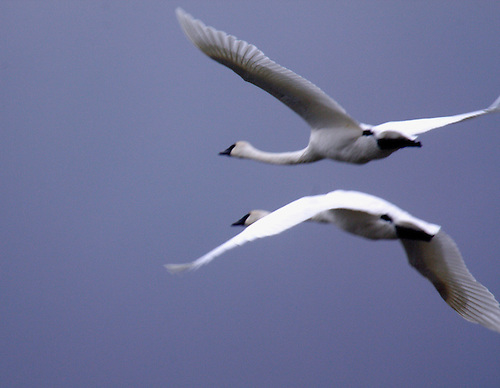 TWO TRUMPETER SWANS TAKE OFF FROM SWAN LAKE AT YELLOWSTONE NATIONAL PARK