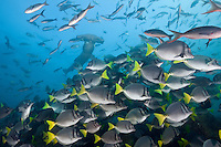 RK0447-D. Yellowtailed Surgeonfish (Prionurus laticlavius) swimming along reef edge, while Scalloped Hammerhead Shark (Sphyrna lewini) approaches. Galapagos Islands, Ecuador, Pacific Ocean. <br /> Photo Copyright &copy; Brandon Cole. All rights reserved worldwide.  www.brandoncole.com