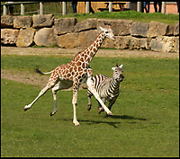 """BNPS.co.uk (01202 558833)<br /> Pic: IanTurner/BNPS<br /> <br /> Wacky Races - Giraffe pips Zebra in Longleat run around...by a long neck!<br /> <br /> A young giraffe and a zebra at Longleat Safari Park engaged in their own version of the wacky races - a clear signal spring is definitely on its way.<br /><br />The pair were spotted making the most of the sunshine as they hurtled around the Wiltshire wildlife attraction's 60-acre reserve; much to the delight of visitors who witnessed their high jinks.<br /><br />Fifteen month old Rothschild male giraffe, Rudy, and male Grant's zebra, Iebe, competed in the frantic runabout as the other members of their herds looked on with bemusement.<br /><br />""""It was quite a sight to see them galloping across the reserve,"""" said keeper Ian Turner, who captured their antics on camera."""