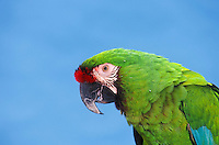 Military Macaw (Ara militaris). Mexico to Argentina.