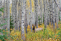 Rocky Mountain Cow Elk (Cervus canadensis nelsoni) on fall morning among aspen trees .  Northern Rockies.  October.
