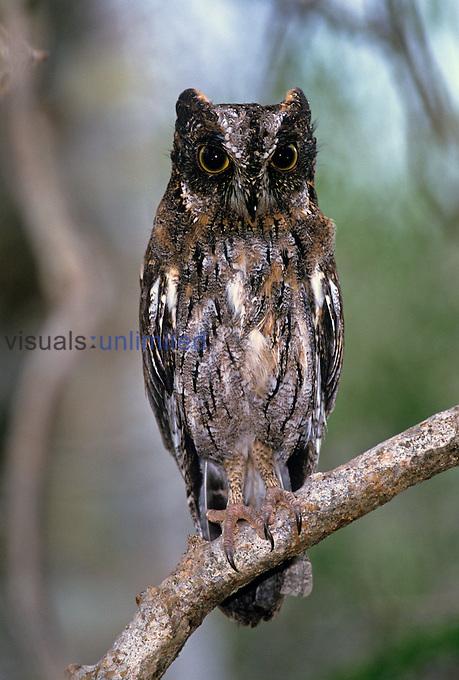 Madagascar Scops Owl ,Otus rutilus, Berenty, Madagascar, Africa.