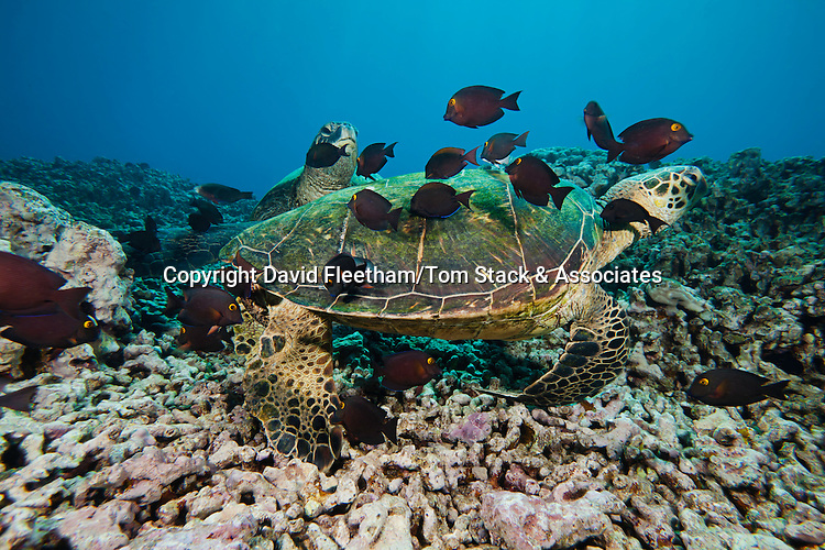Several green sea turtles, Chelonia mydas, an endangered species, gather at a cleaning station off West Maui attended by surgeonfish, Hawaii.