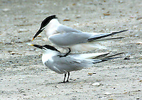 Sandwich terns mating