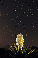 Trecul Yucca, Spanish Dagger (Yucca treculeana), blossom at night with stars, Laredo, Webb County, South Texas, USA