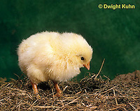 DG05-022x Domestic chick - newly hatched and fluffy