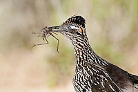 Greater Roadrunner with grasshopper