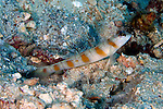 Amblyeleotris rubrimarginatus, Red-margin shrimp goby, Raja Ampat, Indonesia