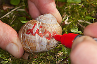 Weinbergschnecke bekommt einen Namen, um sie später im Garten wiederfinden zu können, Weinberg-Schnecke, Helix pomatia, Roman snail, escargot, escargot snail, edible snail, apple snail, grapevine snail, vineyard snail, vine snail