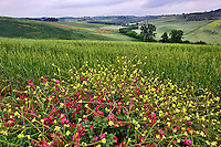 Roadside flowers and agricultural farm fields, Tuscany, Italy