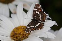 Landkärtchen, Falter der Sommergeneration, Araschnia levana, map butterfly