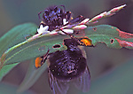 Bumble Bee at work.  Common through out the temperate zones of the world, they are important pollinators.