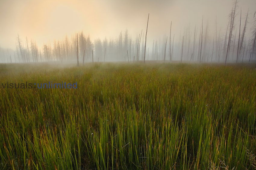 Grasses and distant Lodgepole Pines (Pinus contorta) in morning mist, Upper Geyser Basin, Yellowstone National Park, Wyoming, USA.
