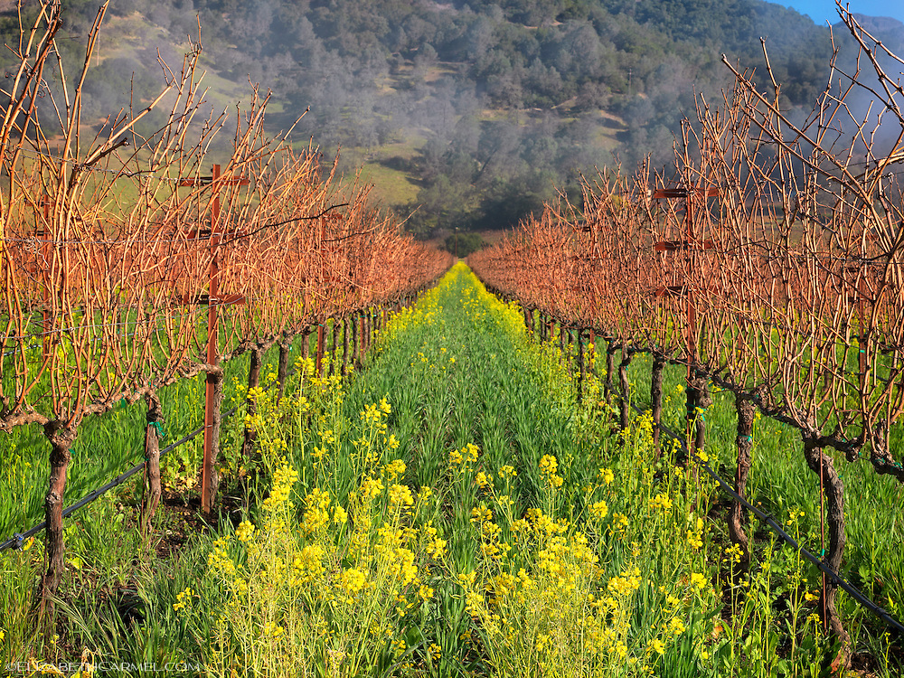 Calistoga Mustard Bloom