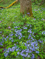 Great Smoky Mountains National Park, Tennessee: Wild blue phlox (Phlox divaricata) and yellow trillium (Trillium luteum) blooming under a forest understory in White Oak Sink