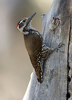 An Arizona Woodpecker, Picoides arizonae, sidles behind a tree to avoid being seen by exuberant birders in the Sky-Islands of Southeast Arizona.