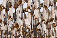 Cod Stockfish hanging to dry on wooden racks, Lofoten, Norway