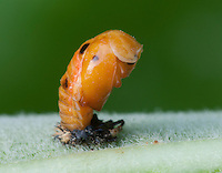 Asian Multicolored Ladybird Beetle pupa;; Harmonia axyridis; metamorphosing to adult; PA, Philadelphia, Schuylkill Center