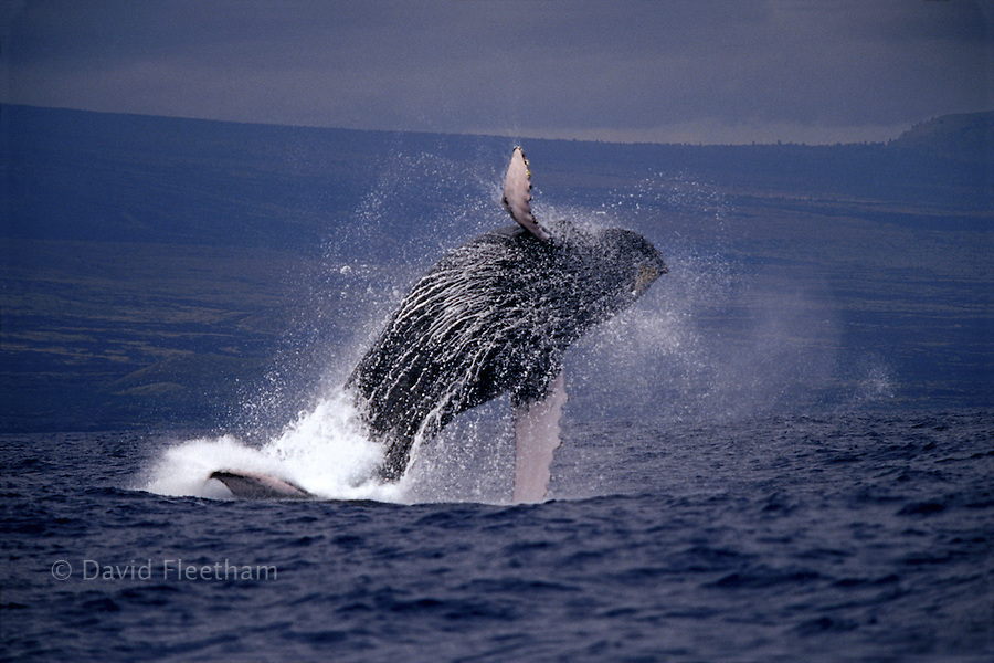 It is thought that humpback whales, Megaptera novaeangliae, leap out of the ocean to communicate with other whales, remove parasites or perhaps simply because it feels good.  Hawaii.