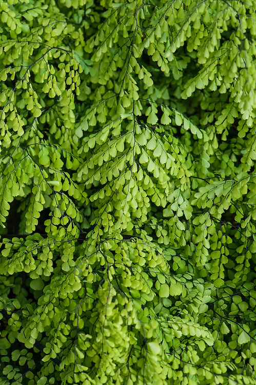 Adiantum venustum, mid May. A deciduous maidenhair fern, almost evergreen in mild areas, native to the Himalayas of Afghanistan.