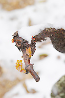 An old Syrah vine in Cornas just breaking into leaves. Vineyards under snow in seasonably exceptional weather in April 2005. Cornas, Ardeche, Ardèche, France, Europe