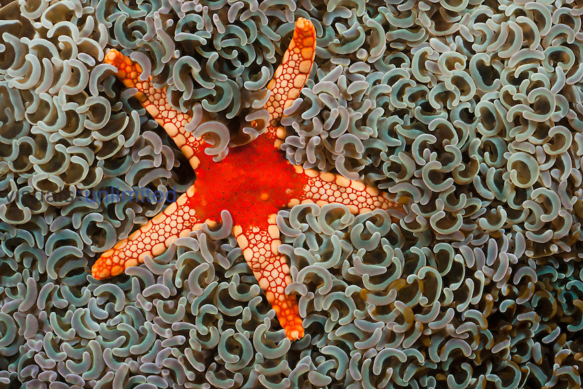 Necklace Seastar (Fromia monilis) on the soft polyps of the Hammer Coral (Euphyllia ancora), Indonesia.