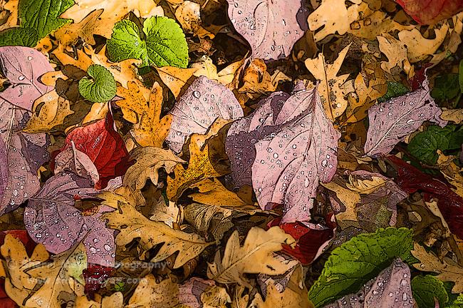 Digital art of oak leaves, from a original photograph