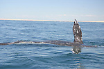 CALIFORNIA GRAY WHALE ON ITS ANNUAL MIGRATION FROM ALASKA to BAJA CALIFORNIA, MEXICO