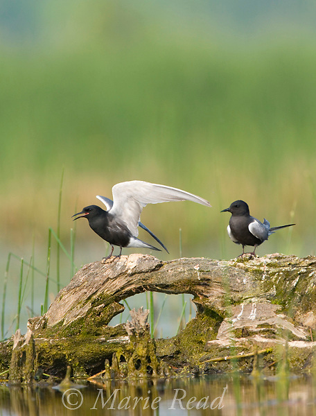 Black Terns (Chlidonias niger), pair with one calling as it prepares to take flight, Montezuma National Wildlife Refuge, New York, USA