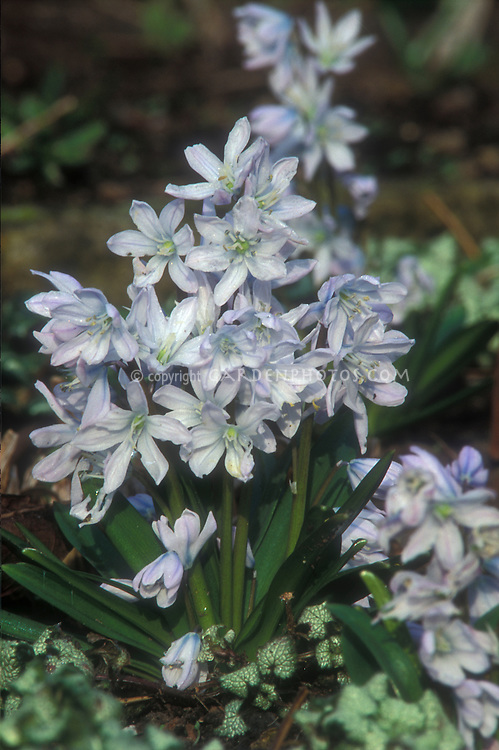 Scilla mischtschenkoana bulb in blue flowered bloom with Lamium maculatum