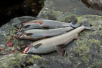 Fangst av harr ---- Catch of grayling
