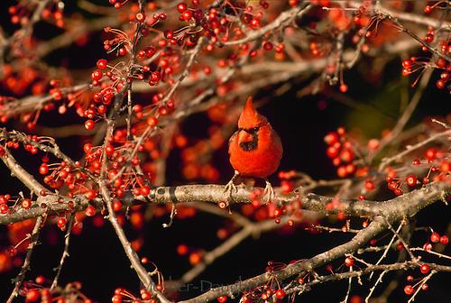 Male northern cardinal, Cardinalis cardinalis, perched among an abundance of crabapples, Midwest USA